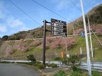 雲見地区の河津桜