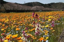 例年3月中旬ごろから見ごろになる松崎の田んぼにできる花畑