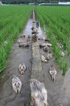 自家製!アイガモ農法で作るお米。