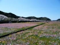花畑と那賀川の桜並木。