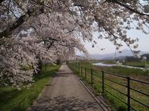 綾織町桜並木