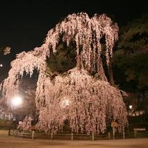 *夜桜ライトアップ