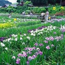 柳生花菖蒲園◆