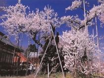 日本最古の神代桜