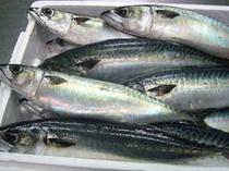 大きなひらさばが大漁です。しめ鯖を作ります。