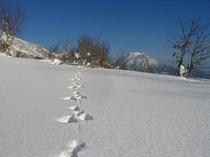 ニセコの雪原にウサギの足跡
