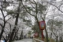 桜咲く岡崎公園。