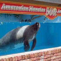 *【熱川バナナワニ園】2013年人気者アマゾンマナティーが生誕50周年を迎えました♪