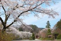 桜の季節が近づいてきました。