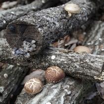 原生林の山中、清らかな湧水で育てられた肉厚のシイタケ