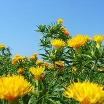 山形の県花「紅花」
