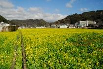 日野交差点菜の花畑