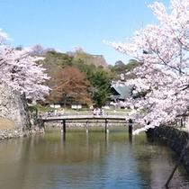 彦根城は桜の名所