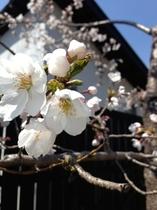 春の季 さくら