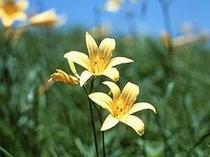 信州、有数のドライブルート、ビーナスラインに咲くニッコウキスゲ