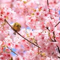 河津桜 濃いピンクの花びらがかわいい♪