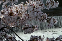 春の嵐山⑦