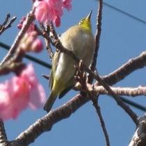 めじろ。左側のお花は桜。2月にはもう桜が咲いてます。