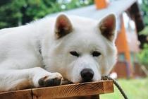 満一歳の秋田犬「優」