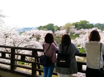 桜の名所 菊池公園