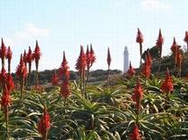 南伊豆では12月~1月にかけてアロエの花が咲く
