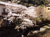 早川沿いの桜