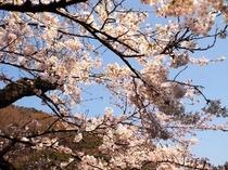 昭和棟前 桜