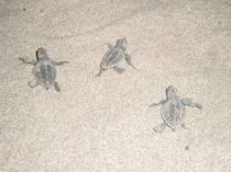 孵化して海に向かう小亀たち