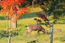 【周辺】紅葉と庭に遊びに来たエゾシカ