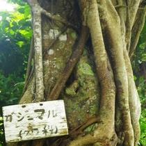 *【島内の風景】精霊が宿ると言われているカジュマルの樹。