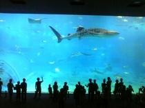 ジンベイザメに会いに行こう