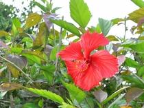 【外観】庭に咲くハイビスカスの花。