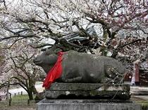 2月~3月にお出掛け下さい。梅の名所 北野天満宮、当館よりバスを利用して約30分