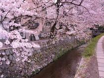 春にお出掛け下さい。高瀬川と桜並木、当館より徒歩で約5分