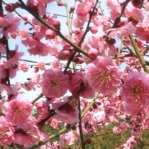 *施設内:梅園の様子② 紅梅・白梅・豊後梅…色とりどりの可愛い梅の花♪
