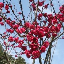 *施設内:梅園の様子⑤ 青空に梅の花が映えますね♪