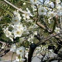 *施設内:梅園の様子① 例年見頃は3月初旬~中旬です。