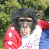 チンパンジー(あすか)