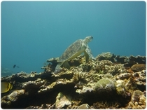 ウミガメに会える確立90%以上!