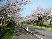 田沢湖高原 桜と駒ケ岳