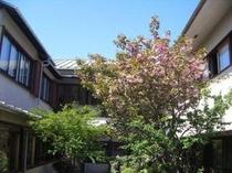 桜の咲く中庭