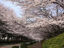 桜満開の農林団地