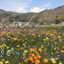 【松崎観光/春】田んぼに色とりどりのお花が咲き誇ります。