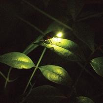 【ホタル】初夏の夜空を明るく照らします