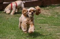 プライベートドッグランで走る犬番頭CANDY