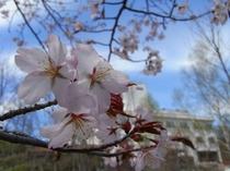 桜と糠平舘