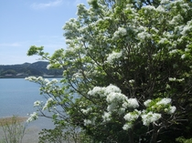 なんじゃもんじゃの木(見頃4月中旬~5月初旬)