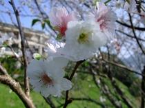 10月桜(秋に咲く桜です)
