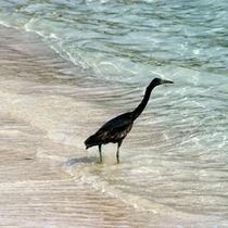 *【周辺】越冬のため、伊良部島へ飛来する海鵜。
