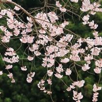 ☆周辺・景色_桜 (4)